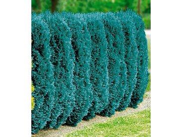 BCM Hecke »Blaue Scheinzypresse«, blau, 20 Pflanzen, blau