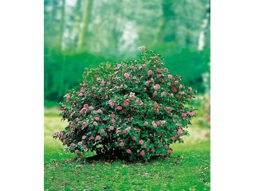 BCM Beet & Balkonpflanze »Kamelie«, rosa, 1 Pflanze, rosa