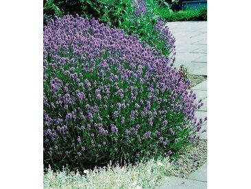 BCM Beet & Balkonpflanze »Lavendel«, lila, 6 Pflanzen, lila
