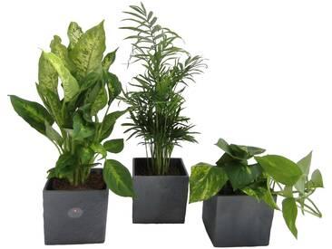 Dominik DOMINIK Zimmerpflanze »Palmen-Set«, Höhe: 30 cm, 3 Pflanzen in Dekotöpfen, grün, 3 Pflanzen, grün