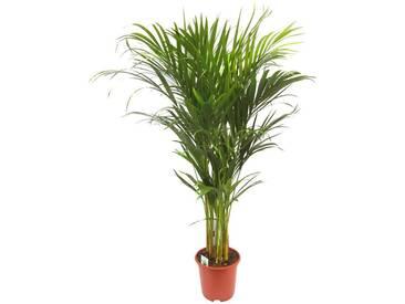 Dominik DOMINIK Zimmerpflanze »Goldfruchtpalme«, Höhe: 90 cm, 1 Pflanze, grün, 1 Pflanze, grün