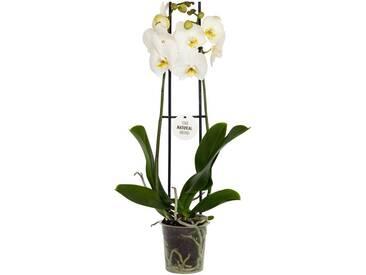Dominik DOMINIK Zimmerpflanze »Schmetterlingsorchidee«, Höhe: 30 cm, 1 Pflanze, grün, 1 Pflanze, grün