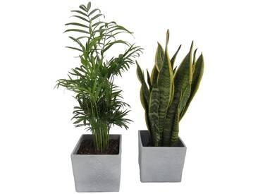 Dominik DOMINIK Zimmerpflanze »Palmen-Set«, Höhe: 30 cm, 2 Pflanzen in Dekotöpfen, grün, 2 Pflanzen, grün