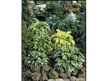 BCM Staudengewächs »Funkie« (3 Pfl.), grün, 3 Pflanzen, grün