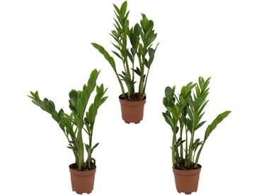 Dominik DOMINIK Zimmerpflanze »Zamioculcas-Set«, Höhe: 30 cm, 3 Pflanzen, grün, 3 Pflanzen, grün