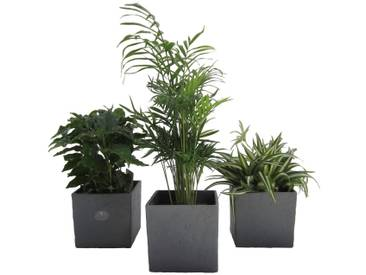 Dominik DOMINIK Zimmerpflanze »Palmen-Set«, Höhe: 15 cm, 3 Pflanzen in Dekotöpfen, grün, 3 Pflanzen, grün