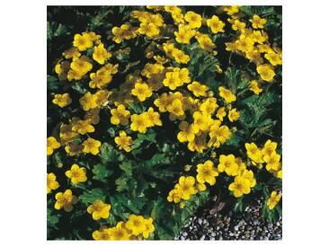 BCM Staudengewächs »Teppich-Golderdbeere« (3 Stk.), gelb, 3 Pflanzen, gelb