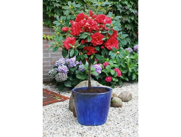 BCM Rhododendron »Rhododendron-Stämmchen«, rot,...