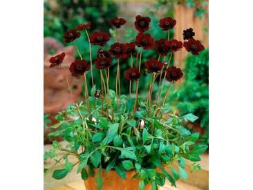 BCM Staudengewächs »Schokoladenblume«, rot, 1 Pflanze, rot