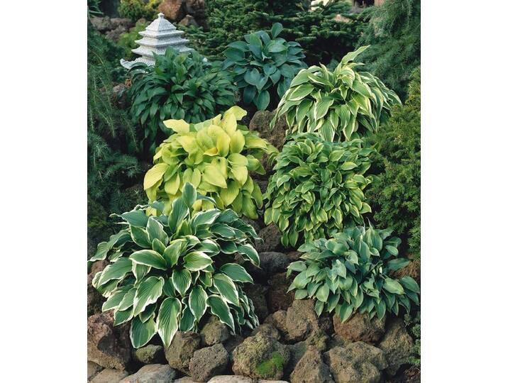 BCM Funkie, grün, 1 Pflanze, grün Grün