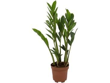Dominik DOMINIK Zimmerpflanze »Zamioculcas«, Höhe: 20 cm, 1 Pflanze, grün, 1 Pflanze, grün