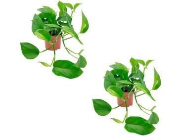 Dominik DOMINIK Zimmerpflanze »Efeututen«, Höhe: 30 cm, 2 Pflanzen, grün, 2 Pflanzen, grün