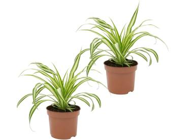Dominik DOMINIK Zimmerpflanze »Grünlilien«, Höhe: 15 cm, 2 Pflanzen, grün, 2 Pflanzen, grün