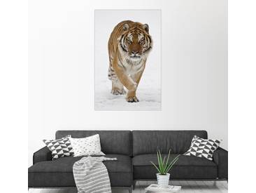 Posterlounge Wandbild - James Hager »Sibirischer Tiger im Schnee«, weiß, Leinwandbild, 100 x 150 cm, weiß