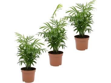 Dominik DOMINIK Zimmerpflanze »Palmen-Set«, Höhe: 30 cm, 3 Pflanzen, grün, 3 Pflanzen, grün