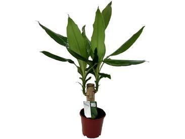 Dominik DOMINIK Zimmerpflanze »Drazena«, Höhe: 30 cm, 1 Pflanze, grün, 1 Pflanze, grün