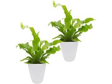 Dominik DOMINIK Zimmerpflanze »Farnpflanzen«, Höhe: 15 cm, 2 Pflanzen in Dekotöpfen, grün, 2 Pflanzen, grün