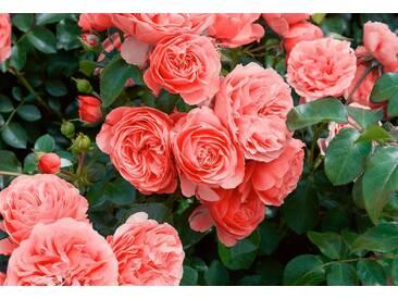 BCM Beetrose »Leonardo da Vinci®«, rosa, 1 Pflanze, rosa
