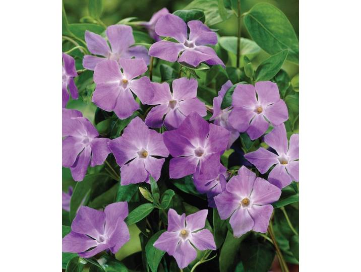 BCM Bodendecker »Rubra«, lila, 12 Pflanzen, lil...