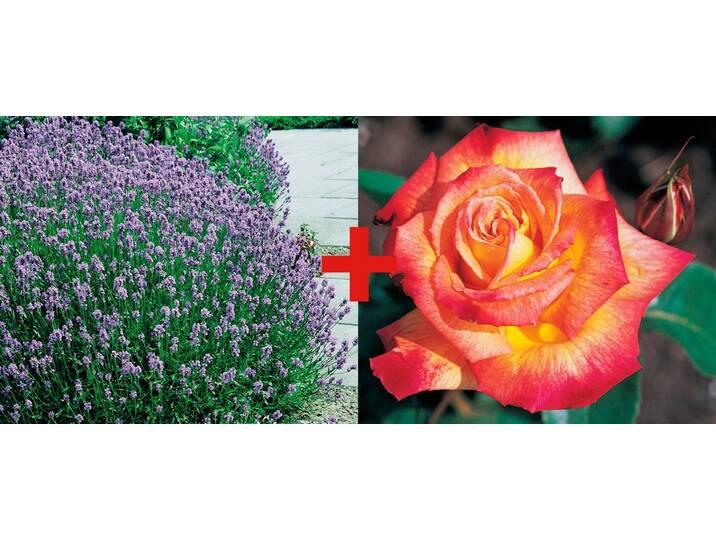 BCM Set: Beetrose »Rose Rumba & Lavendel«, bunt...