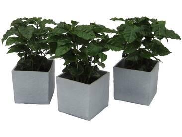 Dominik DOMINIK Zimmerpflanze »Kaffee-Pflanzen«, Höhe: 30 cm, 3 Pflanzen in Dekotöpfen, grün, 3 Pflanzen, grün