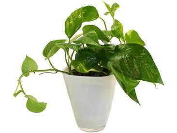 Dominik DOMINIK Zimmerpflanze »Efeutute«, Höhe: 30 cm, 1 Pflanze im Dekotopf, grün, 1 Pflanze, grün