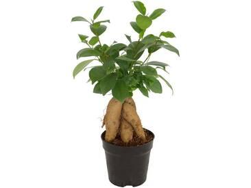 Dominik DOMINIK Zimmerpflanze »Ginseng-Feige«, Höhe: 15 cm, 1 Pflanze, grün, 1 Pflanze, grün