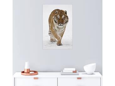 Posterlounge Wandbild - James Hager »Sibirischer Tiger im Schnee«, weiß, Acrylglas, 80 x 120 cm, weiß