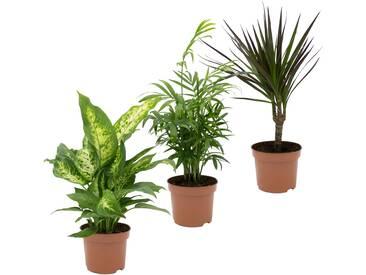 Dominik DOMINIK Zimmerpflanze »Grünpflanzen-Set«, Höhe: 30 cm, 3 Pflanzen, grün, 3 Pflanzen, grün