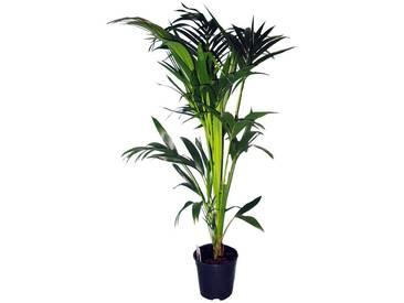 Dominik DOMINIK Zimmerpflanze »Kentia-Palme«, Höhe: 60 cm, 1 Pflanze, grün, 1 Pflanze, grün