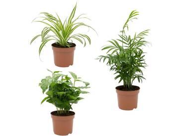 Dominik DOMINIK Zimmerpflanze »Palmen-Set«, Höhe: 15 cm, 3 Pflanzen, grün, 3 Pflanzen, grün