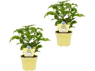Dominik DOMINIK Zimmerpflanze »Kaffee-Pflanzen«, Höhe: 15 cm, 2 Pflanzen, grün, 2 Pflanzen, grün