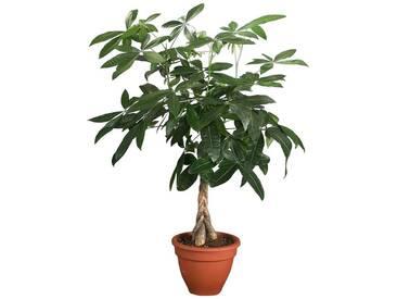 Dominik DOMINIK Zimmerpflanze »Glückskastanie«, Höhe: 60 cm, 1 Pflanze, grün, 1 Pflanze, grün