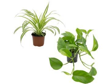 Dominik DOMINIK Zimmerpflanze »Grünpflanzen-Set«, Höhe: 30 cm, 2 Pflanzen, grün, 2 Pflanzen, grün