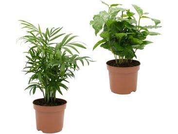 Dominik DOMINIK Zimmerpflanze »Palmen-Set«, Höhe: 30 cm, 2 Pflanzen, grün, 2 Pflanzen, grün