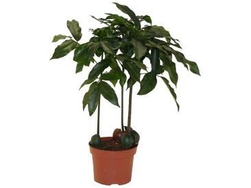 Dominik DOMINIK Zimmerpflanze »Australische Kastanie«, Höhe: 30 cm, 1 Pflanze, grün, 1 Pflanze, grün