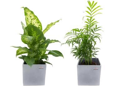 Dominik DOMINIK Zimmerpflanze »Grünpflanzen-Set«, Höhe: 30 cm, 2 Pflanzen in Dekotöpfen, grün, 2 Pflanzen, grün