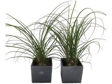 Dominik DOMINIK Zimmerpflanze »Elefantenfuß«, Höhe: 30 cm, 2 Pflanzen in Dekotöpfen, grün, 2 Pflanzen, grün
