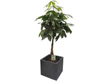 Dominik DOMINIK Zimmerpflanze »Pachira«, Höhe: 60 cm, 1 Pflanze im Dekotopf, grün, 1 Pflanze, grün