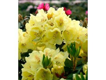 BCM Rhododendron »Goldbukett®«, gelb, 50 cm, 1 Pflanze, gelb