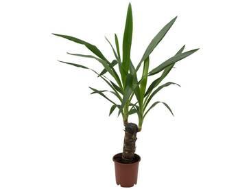 Dominik DOMINIK Zimmerpflanze »Yucca-Palme«, Höhe: 30 cm, 1 Pflanze, grün, 1 Pflanze, grün