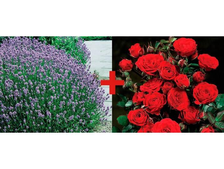 BCM Set: Beetrose »Rose Europeana & Lavendel«, ...