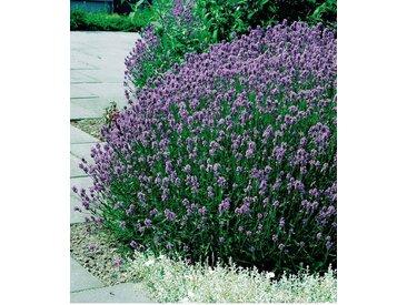 BCM Beet & Balkonpflanze »Lavendel«, lila, 12 Pflanzen, lila