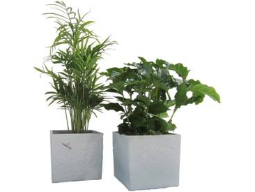Dominik DOMINIK Zimmerpflanze »Palmen-Set«, Höhe: 15 cm, 2 Pflanzen in Dekotöpfen, grün, 2 Pflanzen, grün