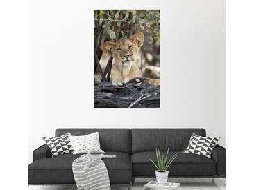 Posterlounge Wandbild - James Hager »Löwenjunges kaut genüsslich«, bunt, Holzbild, 100 x 150 cm, bunt