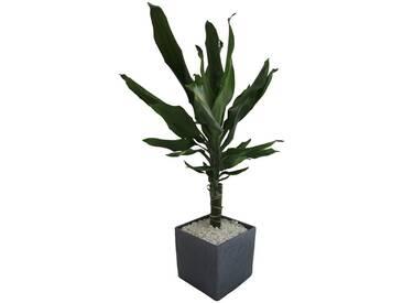 Dominik DOMINIK Zimmerpflanze »Drazene«, Höhe: 30 cm, 1 Pflanze im Dekotopf, grün, 1 Pflanze, grün
